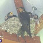 Schwalben mit Jungen im Nest
